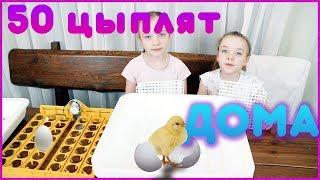 50 цыплят дома Что делать? Петушиные бои и Инкубатор своими руками