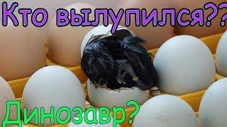 Яйцо! Кто вылупился? Динозавр?