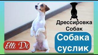 Собака-суслик ЖДЁТ  Дрессировка собак с .