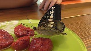 Бабочки день 3 появились еще бабочки и произошло превращение ГИГАНТСКОГО КОКОНА