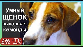 Дрессировка собак. Обучение щенка послушанию, базовые команды.